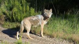 Wölfe breiten sich in Deutschland sprunghaft aus