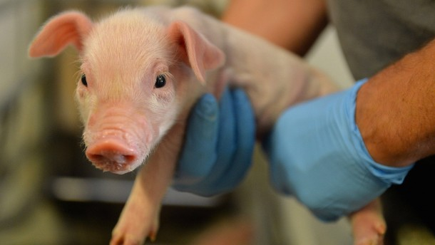 Kein Schwein blickt mehr durch