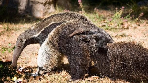 Kleiner Großer Ameisenbär
