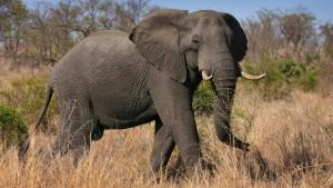 Mitarbeiter im Umweltministerium posiert mit geschossenem Elefanten