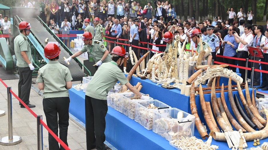 Kampf dem illegalen Handel: In Peking zerstörten die Behörden 2015 mehrere hundert Kilogramm beschlagnahmtes Elfenbein.