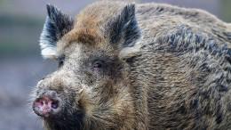 Wo Schweine schwimmen