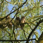 Gefährliches Versteck: Waldohreulen auf einer Weide