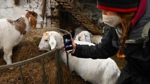 Britische Bäuerin vermietet Ziegen für Video-Konferenzen