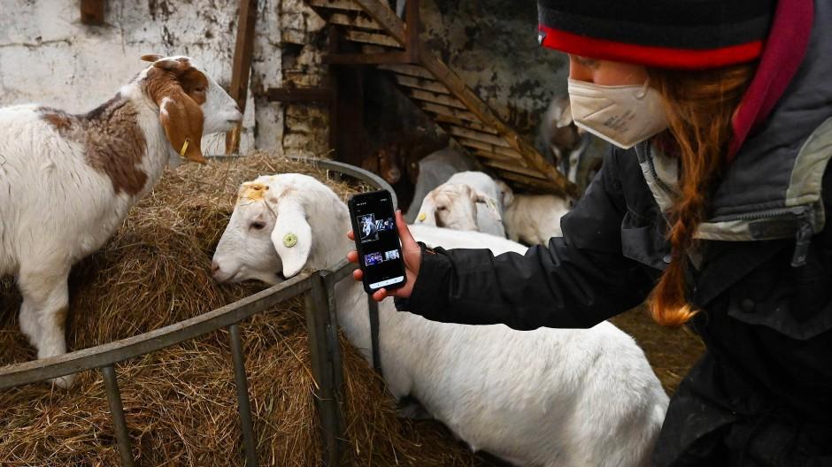 Bäuerin Dot McCarthy filmt ihre Ziegen für eine Zoom-Konferenz.