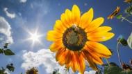 Eine Biene tummelt sich am Rande von Bad Homburg auf einer Sonnenblume Ein Landwirt hat hier ein Feld für Blumen zum Selberschneiden angelegt.