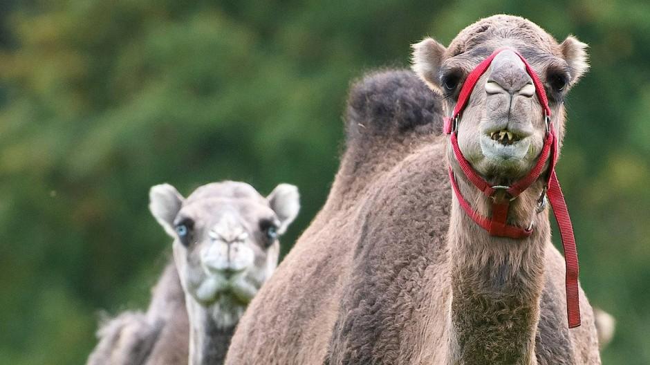 Fühlen sich nicht nur in der Wüste wohl: Kälte macht Kamelen nichts aus, nur den Regen mögen sie nicht.