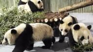 Pandabären für Expo 2010 eingeflogen