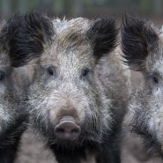 Was kann das Wildschwein dafür, wenn es sich in Menschennähe wohlfühlt?