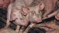 49,3 Prozent der Mastschweine wiesen schon bei rein äußerlicher Kontrolle eitrige Gelenkentzündungen auf.