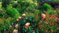Wie Rosen im Beet richtig zur Geltung kommen