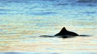 Alle Achtung: Naturschützer sorgen sich um die Schweinswale in der Ostsee.