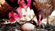 Millionen Hühnereier sind mit dem gefährlichen Insektizid Fipronil verseucht worden.