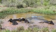 Mögen es feucht: Die Wasserbüffel fühlen sich im Erlenseer Naturschutzgebiet sichtlich wohl.