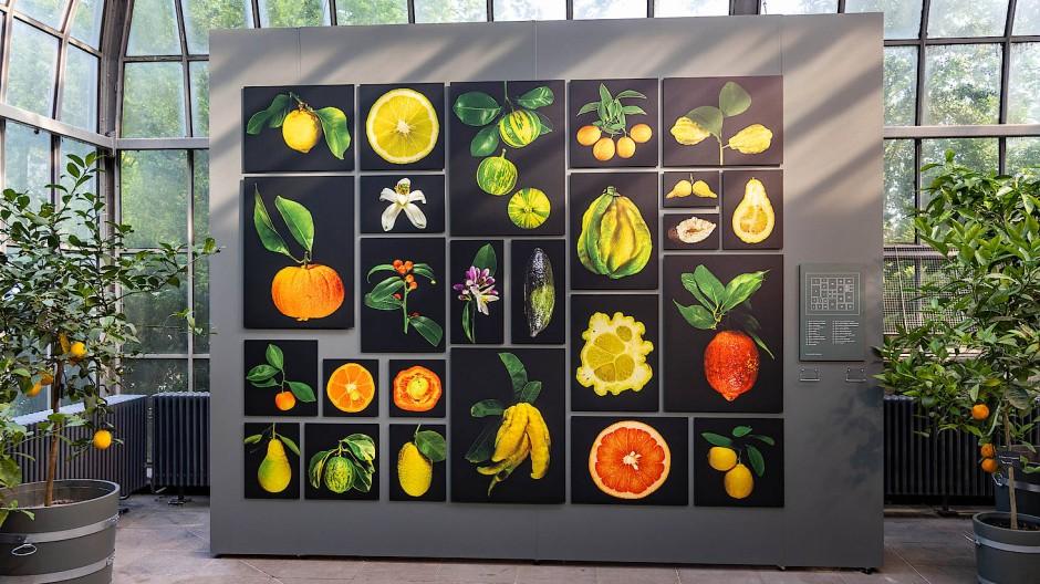 Es ist nicht nur Zitrone, was eine Zitrusfrucht ist, und es wächst, wenn das Klima stimmt, auch in Kübeln gut: Schaubild und Schaustücke der Ausstellung im Palmengarten.