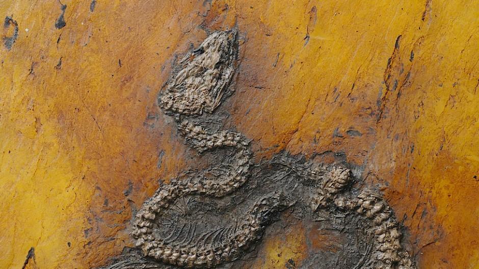 Gut erhalten: 47 Millionen Jahre altes Python-Fossil aus der Grube Messel