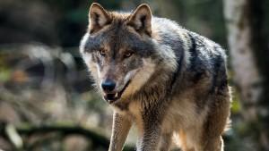 Hendricks gegen Abschuss von Wölfen