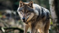 Zurück in Deutschland: Ein Wolf im Wildpark Schorfheide in Groß Schönebeck in Brandenburg