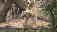 Zukunft von Knut hängt in der Schwebe