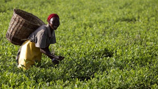 Die Tee-Produktion in Kenia