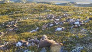 Blitze töten mehr als 300 Rentiere