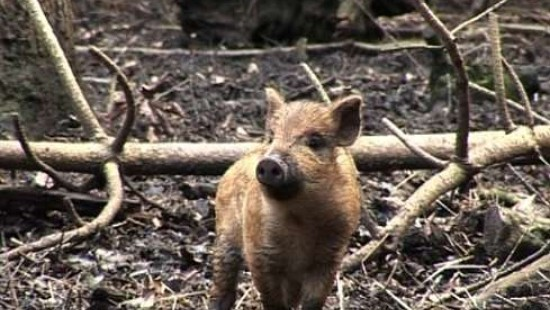 Wildschweine erobern ihren Lebensraum zurück