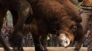 Kampf-Kamele in der Türkei