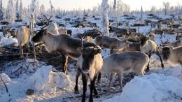 Wilderer töten mehr als 1000 Rentiere