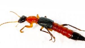 Ein Insekt, dem man lieber nicht begegnet