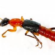 Kleiner Käfer mit großer giftiger Wirkung: Mit der Championsfliege legt man sich besser nicht an.