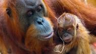 Vom Aussterben bedroht: Ein Orang-Utan mit seinem erst wenige Tage altem Jungen.