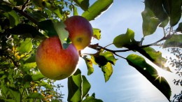 Weniger Äpfel in Hessen