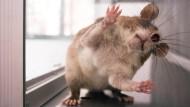 Ratten erschnüffeln Tuberkulose