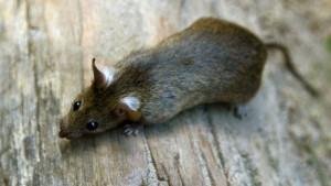 Ratten zerstören wissenschaftlichen Buchbestand