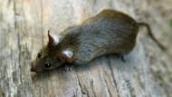 """""""Die Ratten kamen durch ein Abwasserrohr ohne Rückschlagsventil in die Bibliothek"""", sagte ein Sprecher der Universität Stuttgart (Symbolbild)."""