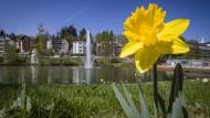 Vorbote: Noch ist es einfach eine Narzisse am Teich des Kurparks, doch vom Wochenende an ist die Blume Teil der Landesgartenschau.