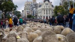 In Madrid sind die Schafe los!