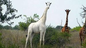 Wilderer töten seltene weiße Giraffe