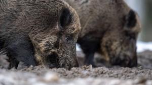 Verdacht auf Afrikanische Schweinepest in Brandenburg