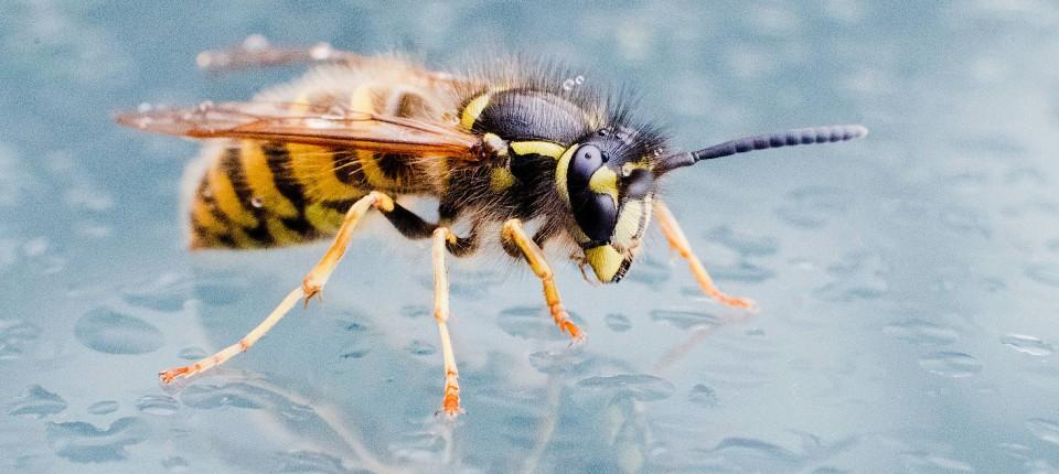 Warum So Viele Wespen