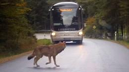 Drei von sechs entkommenen Wölfen sind tot