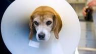 Hund nach einer Analdrüsen-OP (Symbolbild)