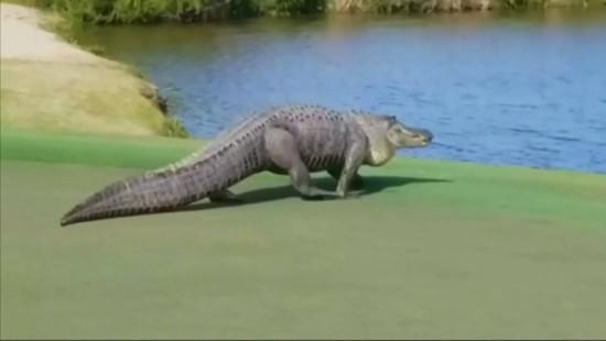 Alligator beeindruckt Golfspieler