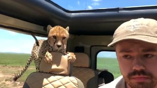 Gepard im Auto - Ruhe bewahren