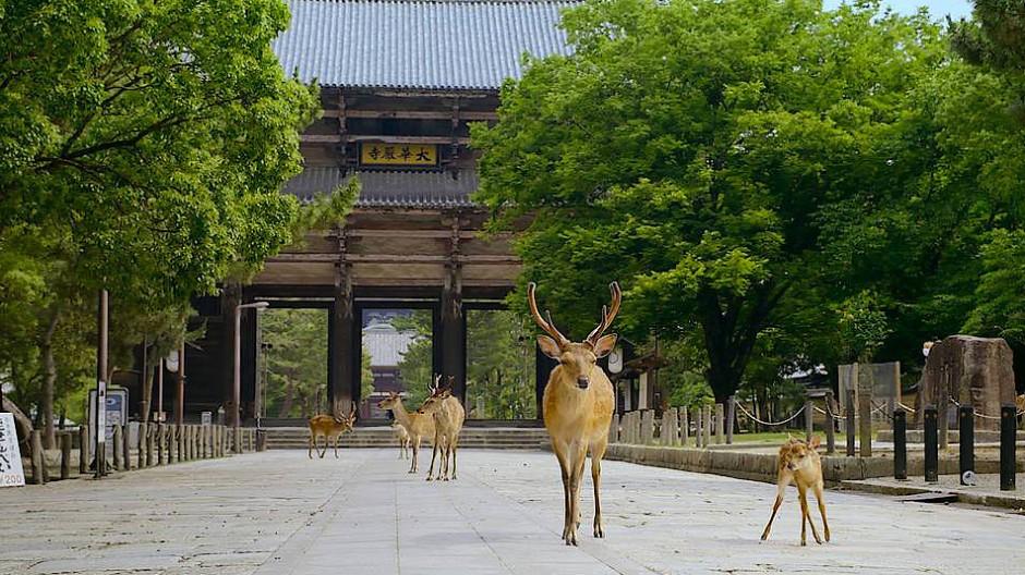 Wo sind die Menschen mit ihren Leckereien? Die Tempelhirsche von Nara in Japan mussten sich umorientieren.