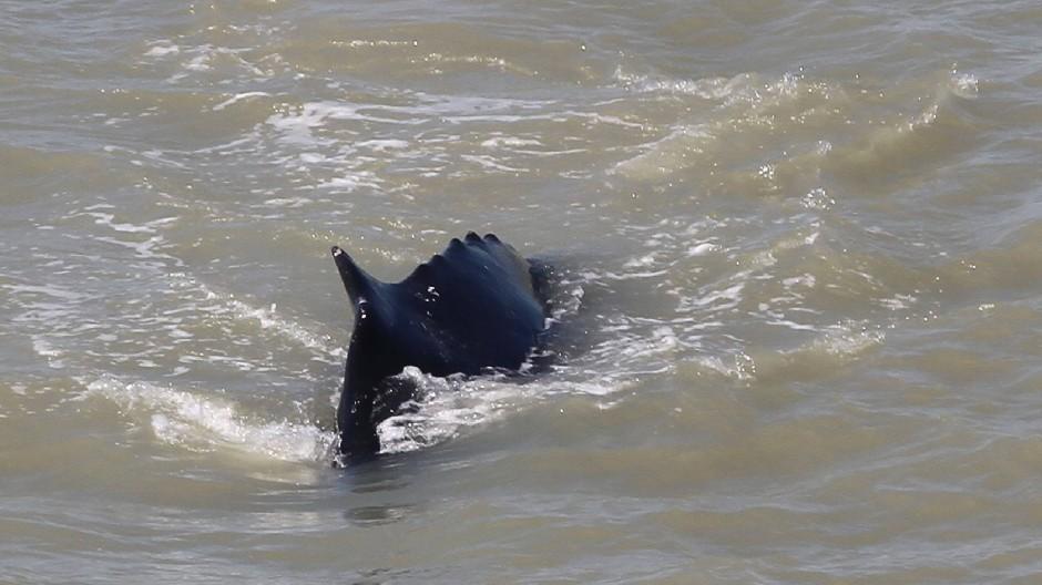 Nur die Flosse ist zu sehen, das Wasser trüb: Ein Buckelwal in einem australischen Fluss