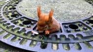 Eichhörnchen steckt in Gullydeckel fest – und wird gerettet