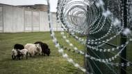 Schafe mähen im Knast