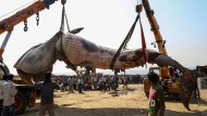Neun Meter langer Wal beerdigt