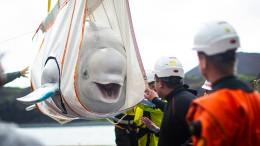 Beluga-Wale reisen von Shanghai nach Island